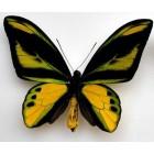 Бабочки птицекрылки