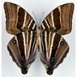 Amathusia phidippus fem