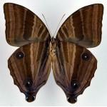 Amathusia phidippus male