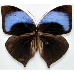 Amathuxidia amythaon dilucida