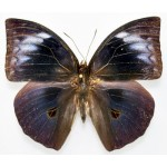 Discophora necho