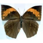 Discophora timora perakensis fem A-