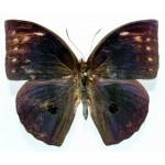 Discophora timora perakensis male