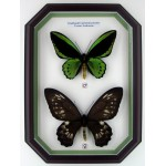 Ornithoptera priamus priamus 03