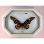 Papilio antimachus 001