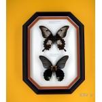 Papilio ascalaphus+Papilio memnon