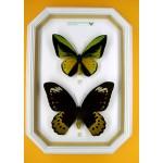 Ornithoptera goliath samson 027