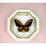Ornithoptera croesus lydius 062