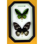 Ornithoptera priamus poseidon 063