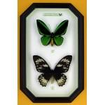 Ornithoptera priamus poseidon 062
