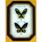Ornithoptera paradisea + Ornithoptera rothschldi 001