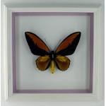 Ornithoptera croesus taentei 091