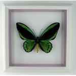 Ornithoptera priamus priamus 004