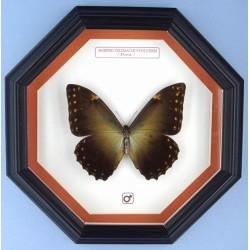 Morpho telemachus foucheri 002