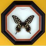 Papilio antenor 004