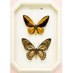 Ornithoptera croesus lydius 061