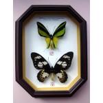 Ornithoptera meridionalis tarunggarensis 001