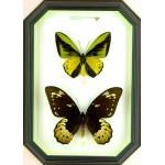 Ornithoptera goliath samson 042