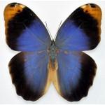 Brasoidae