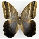Caligo idomeneus idomenides
