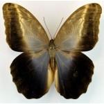 Caligo idomeneus ferus