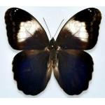 Caligo martia  male