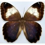 Caligo martia  fem