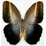 Caligo placidianus placidianus fem