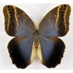 Caligo placidianus placidianus male