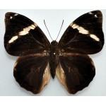 Opsiphanes quiteria quirinalis
