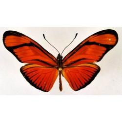 Eueides aliphera ssp