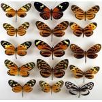 Heliconidae Peru mix 15 pcs