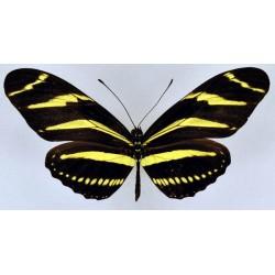 Heliconius charitonia charitonia