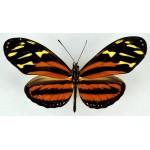 Heliconius isabella eva male