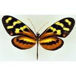 Heliconius isabella pelucida