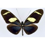 Heliconius wallacei flavescens