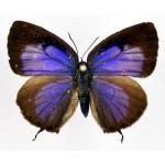 Arhopala eumolphus maxwelli fem