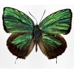 Arhopala eumolphus maxwelli