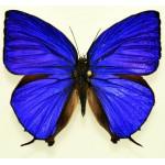 Arhopala herculina male