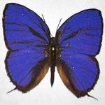 Lyc.Arhopala phaenops