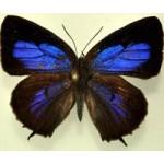 Lyc.Arhopala phaenops fem