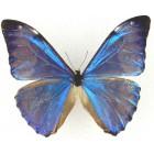 Бабочки Морфо (Morpho) семейства  Morpho (Morphidae),
