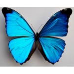 Morpho absoloni male