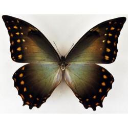 Morpho amphitryon  male