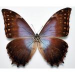 Morpho theseus schweitzeri ssp