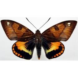 Castnia palatinus ferruginosa male