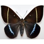 Castnia papilionaris fem