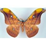 Antheraea helferi javanus male