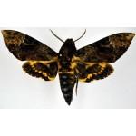 Acherontia ssp