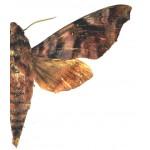 Acosmeryx anceus subdentata